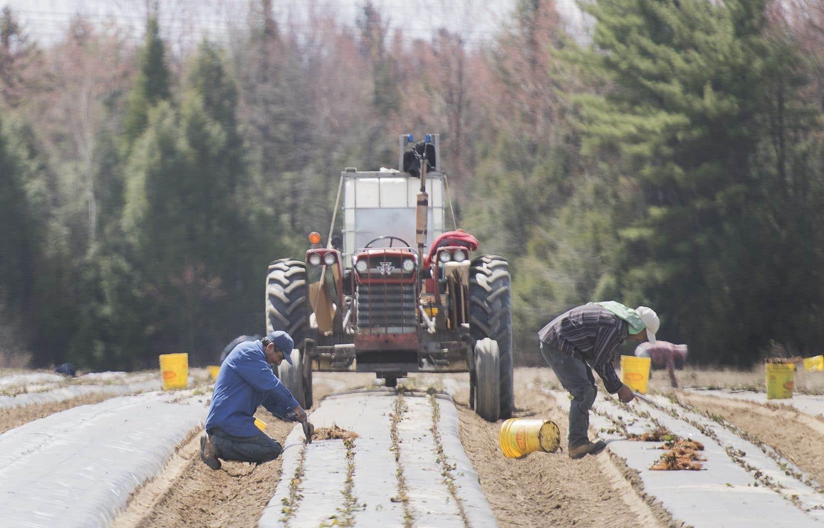 Les Mexicains représentent environ la moitié des travailleurs étrangers temporaires employés dans le secteur agricole au Canada.