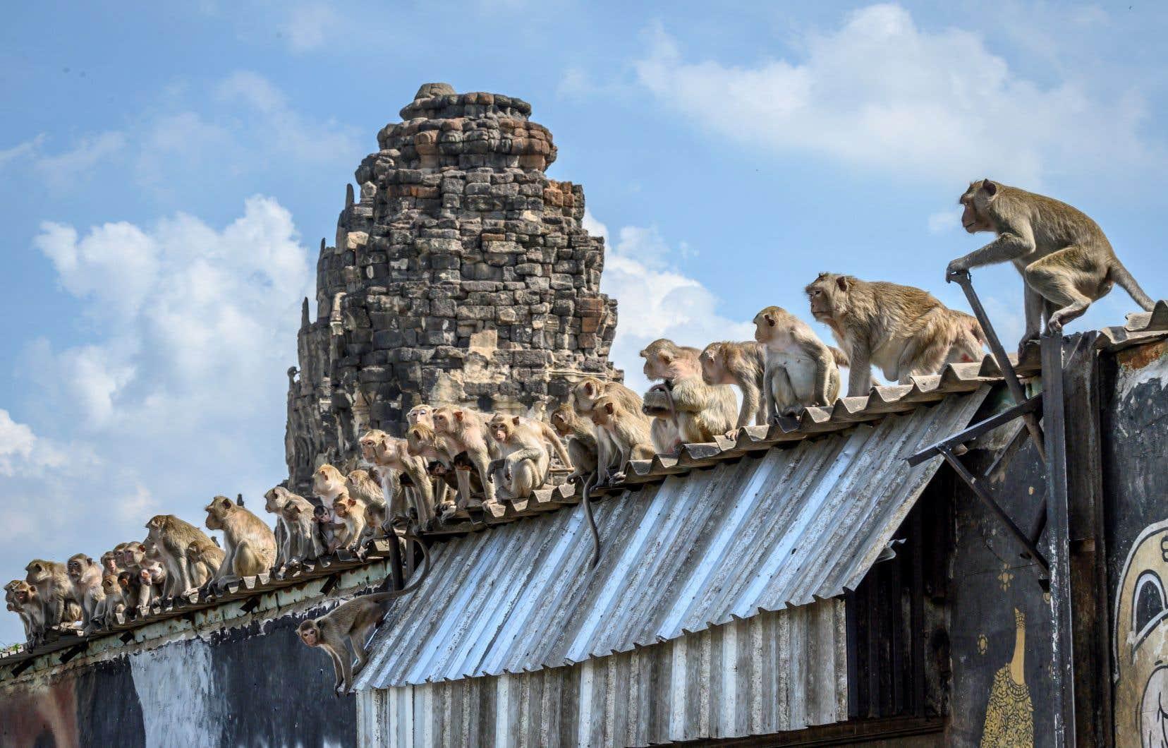 En trois ans, la population de macaques à Lopburi a doublé: 6000 singes cohabitent aujourd'hui avec les 27000 habitants de la ville de Thaïlande.