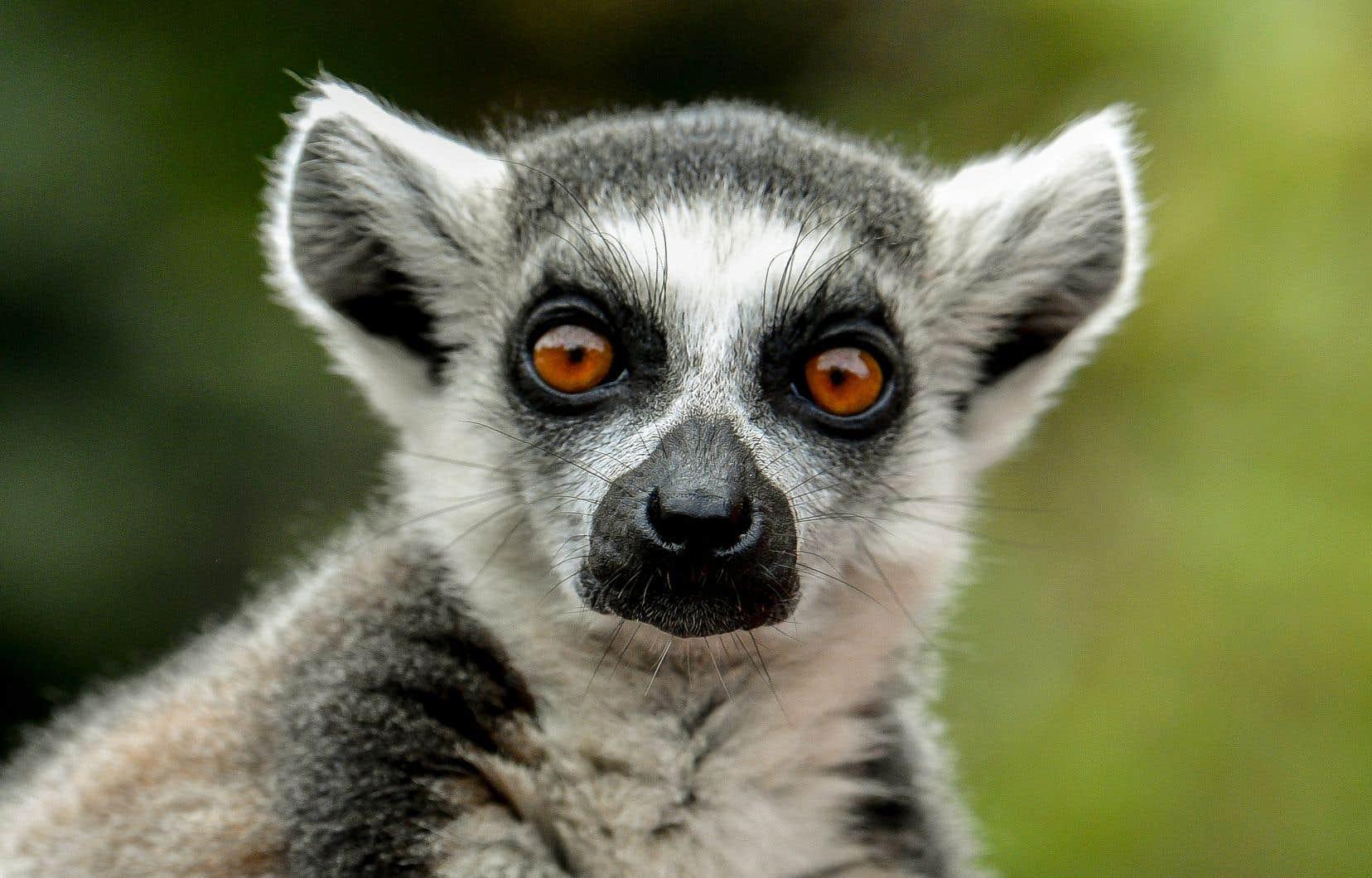 103 des 107 espèces de lémuriens sont menacées, «principalement en raison de la déforestation et de la chasse».