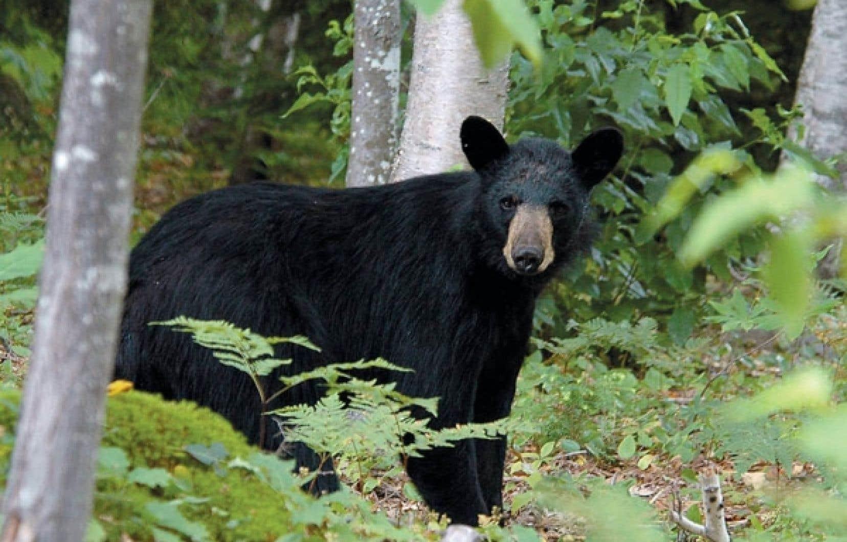 La récolte totale d'ours noirs se maintient, car les Québécois ont occupé le terrain laissé vacant par les non-résidants. Ainsi, la récolte est passée entre 2007 et l'automne dernier de 4729 à 4441, puis à 5046 et à 4825 ours noirs, un indice de la stabilité, si l'on peut dire, de ce cheptel.
