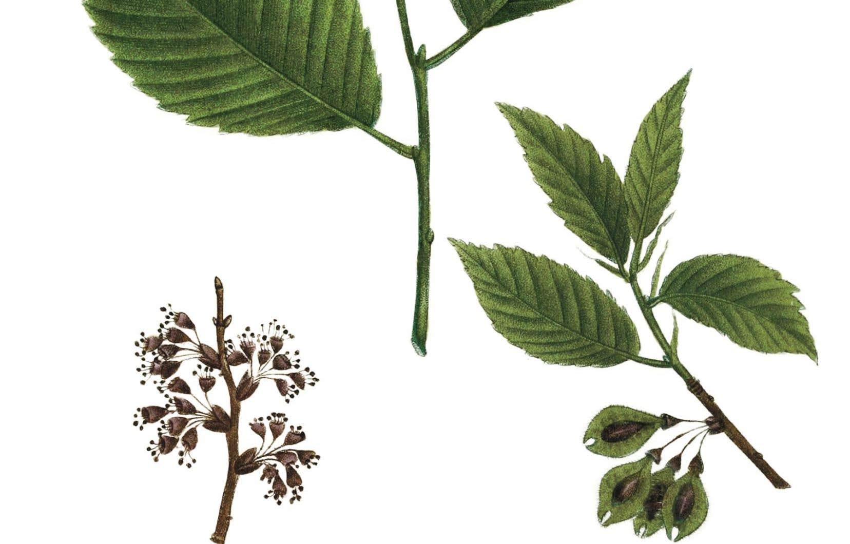 L'orme d'Amérique («Ulmus americana»). Illustration tirée d'«Histoire des arbres forestiers septentrionale», de François André Michaux.