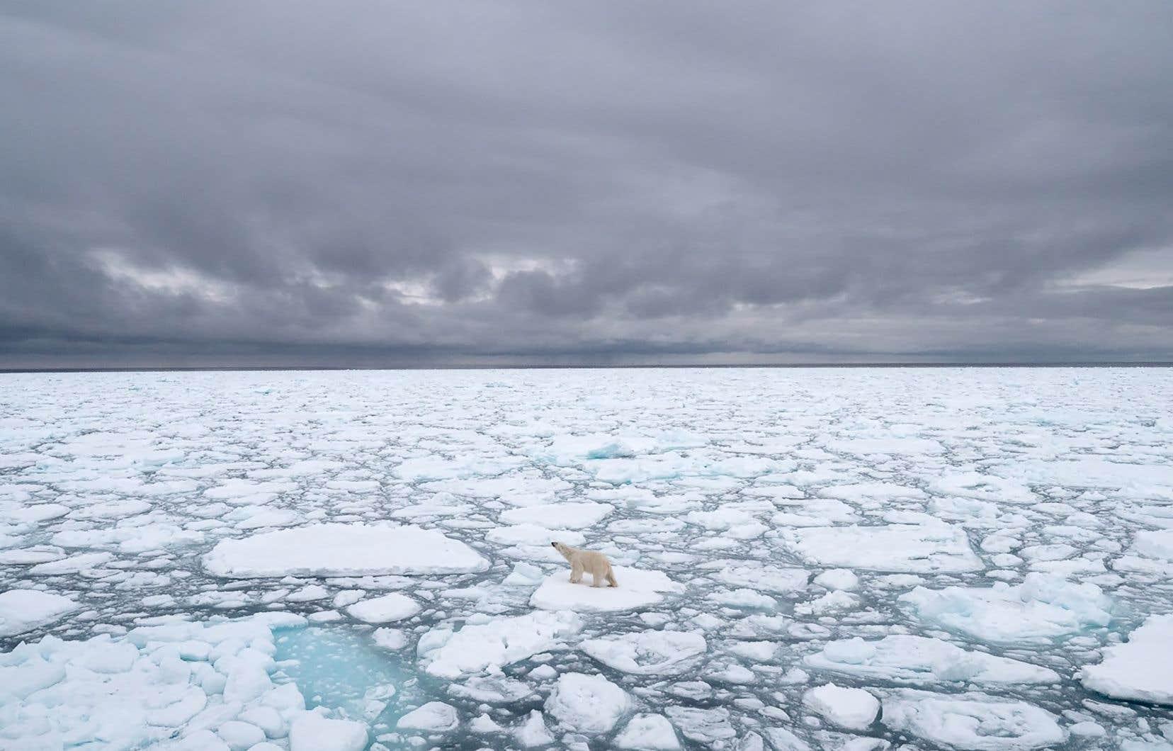 Un mâle de la sous-population de la Baie d'Hudson d'un poids 20% en dessous de la normale au début du jeûne estival ne survivrait que 125 jours, contre 200 aujourd'hui.