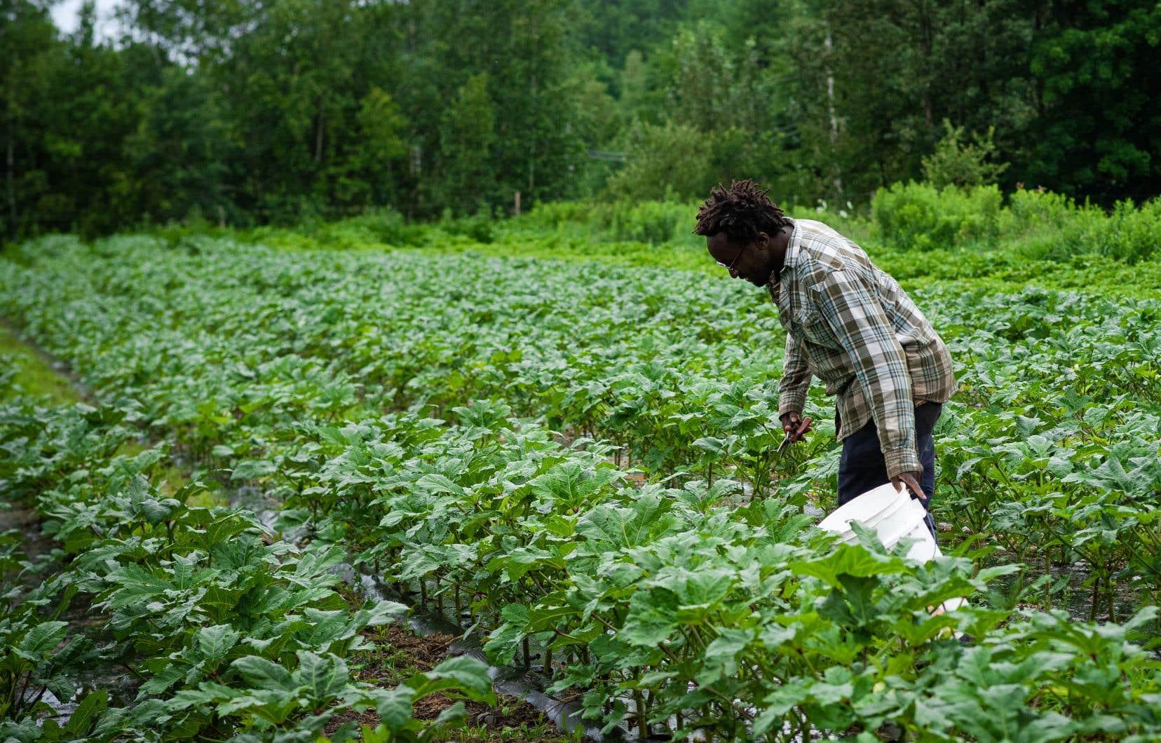 Pour se démarquer sur  le marché, Edem Amegbo cultive des légumes africains, ce qui n'est pas pour déplaire à la communauté africaine ou aux Québécois curieux.