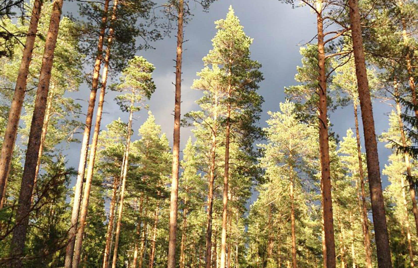 Les majestueux arbres dans la forêt de Zélénogorsk. L'air est doux, les petits chemins de terre sont bordés d'arbres hauts, épinettes, pins surtout, aux troncs rouges; on dirait une série peinte de la main d'un artiste minimaliste.