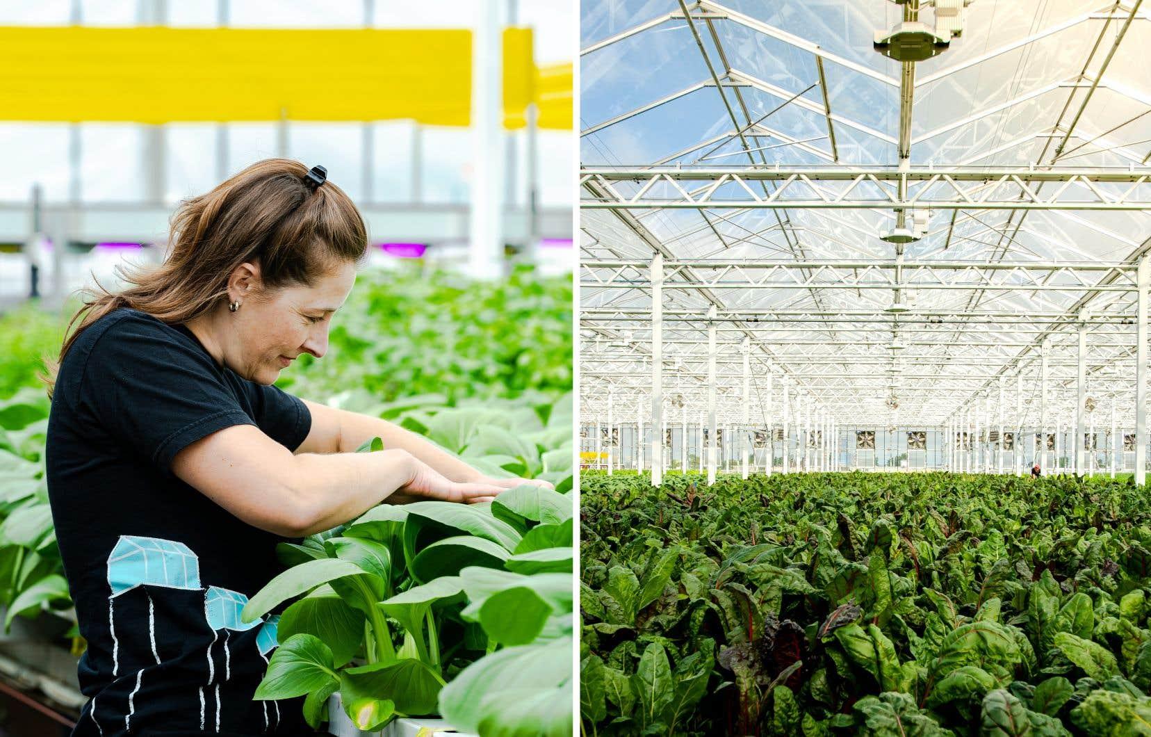 La serre hydroponique des Fermes Lufa, à Anjou, où Camille Dubreuil Bessette supervise la production de 210 000 plants de laitue et de fines herbes.