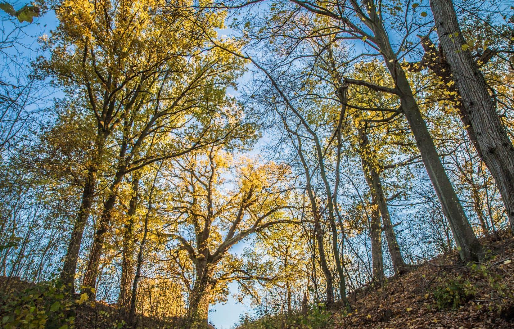 Lors d'un inventaire effectué en 2019- 2020, 211 chênes de plus de 90 cm de diamètre à hauteur de poitrine ont été dénombrés dans le parc du Mont-Royal.