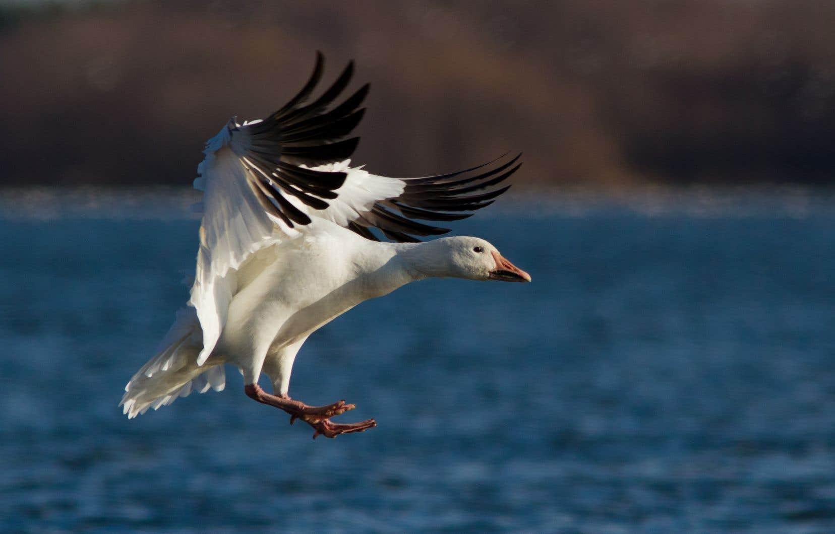 De l'île d'Orléans à l'île Bylot, de Montmagny au lac Saint-Pierre, dans une langue sensible mais un peu empesée, Gérald Baril nous communiquesa fascination pour ces oiseaux migrateurs.