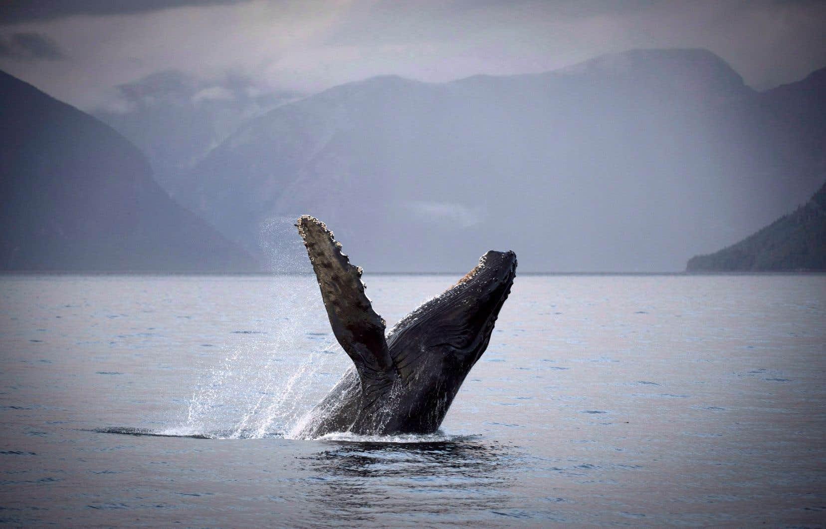 Une baleine à bosse dans la baie de Hartley, en Colombie-Britannique