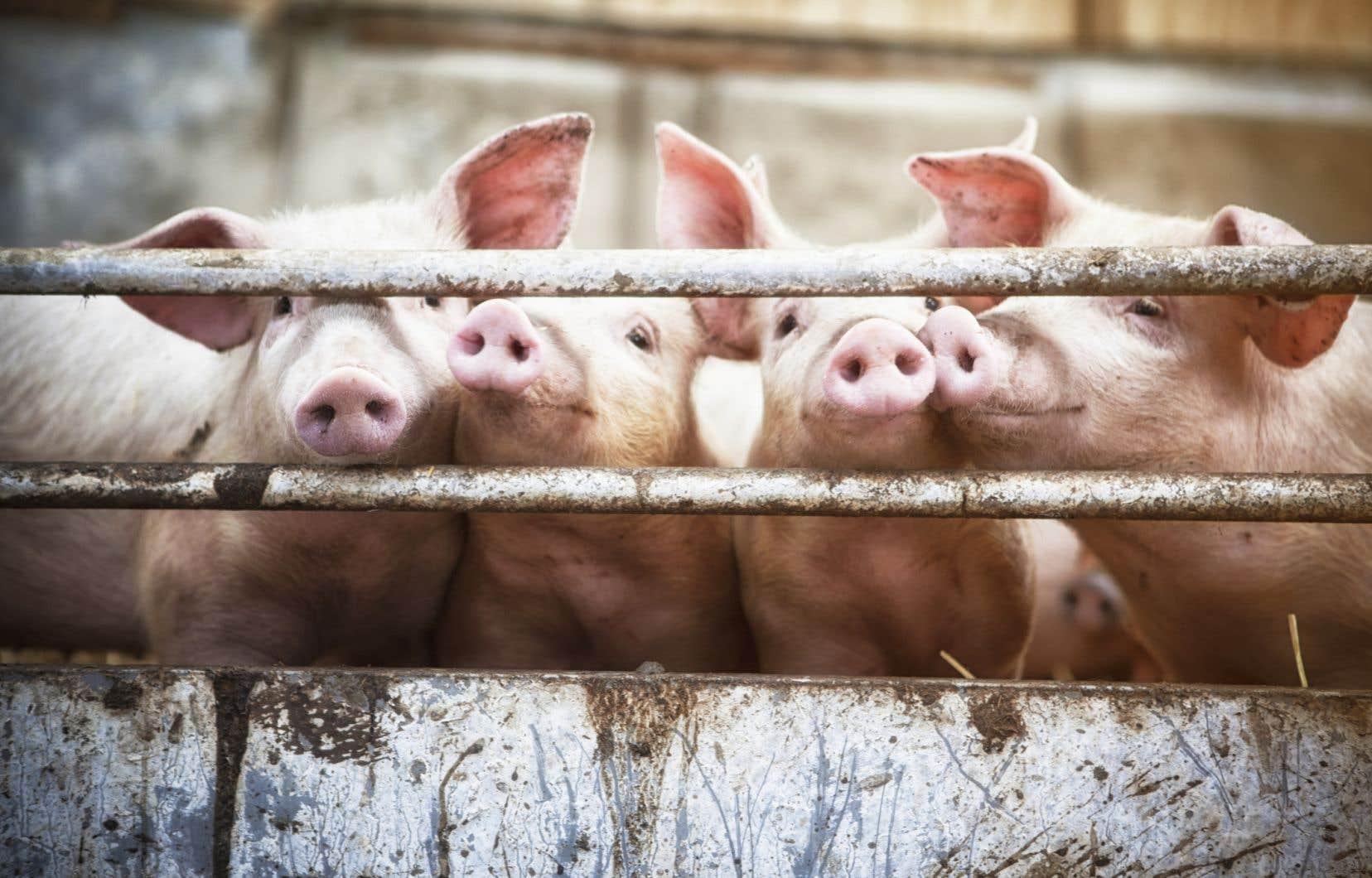 Le porc que vous mangez a peut-être englouti le pain et les biscuits que vous n'auriez pas pu consommer ou la drêche de votre bière préférée.