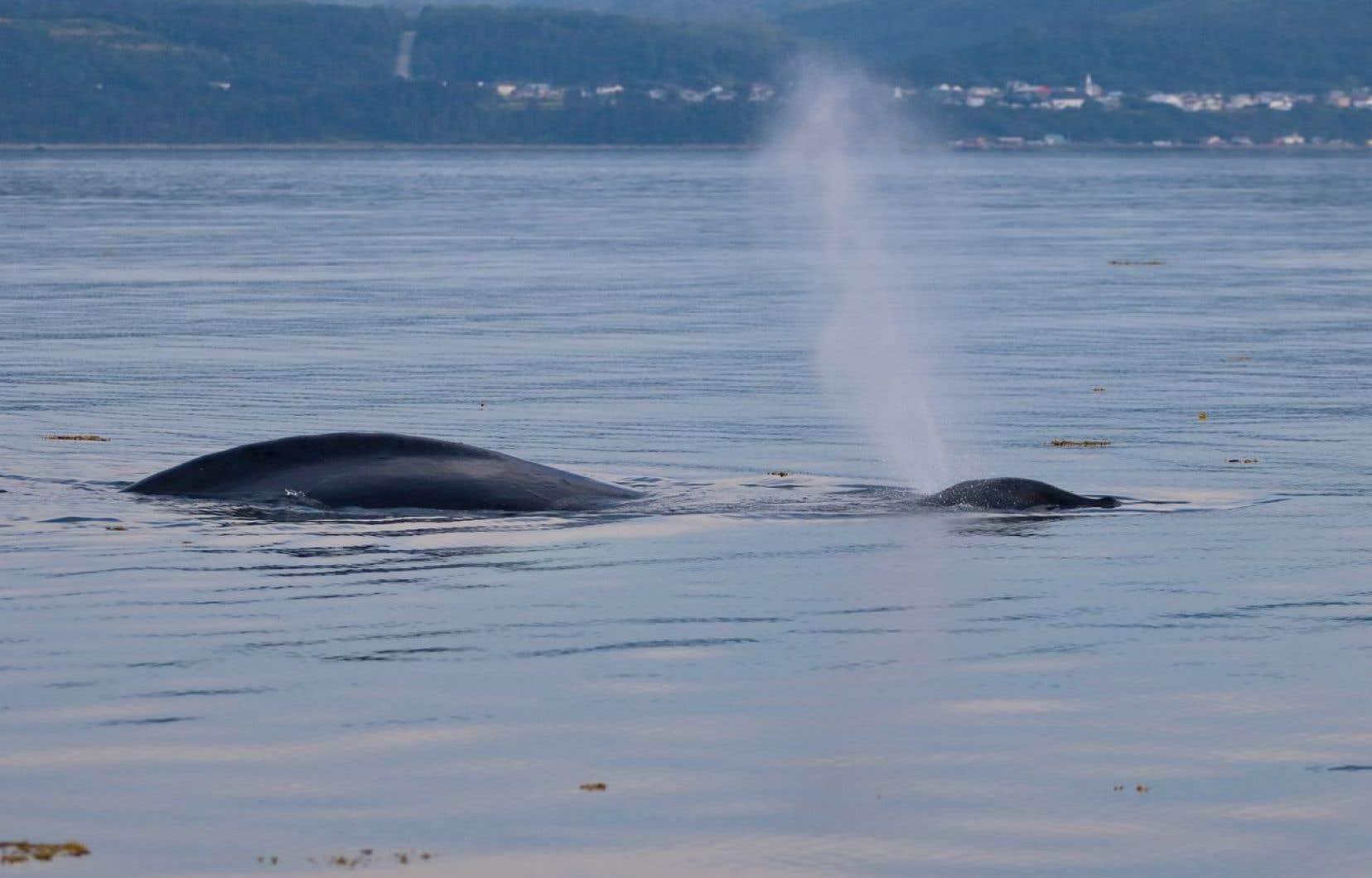 Pêches et Océans Canada n'a pas pu localiser depuis le 2 août la baleine vraisemblablement empêtrée, en raison des mauvaises conditions météorologiques, selon le ministère.