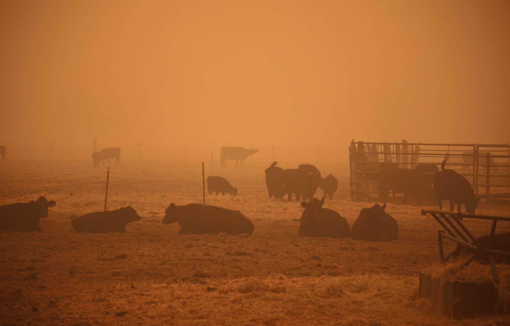 Sur ciel d'apocalypse, les vaches de l'Oregon attendent de finir en burgers, sur le gril ou dans les pâturages.