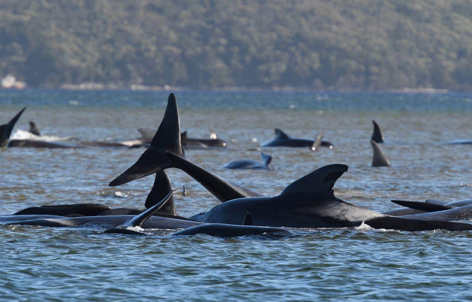 <p>Les échouages de mammifères marins sont relativement fréquents en Tasmanie, mais celui-ci est particulièrement préoccupant du fait du nombre important des animaux concernés.</p>