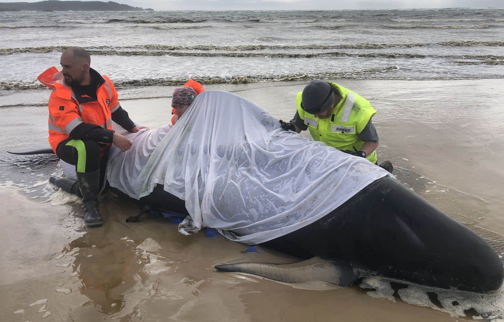 Les sauveteurs ont passé deux jours dans les eaux peu profondes et froides pour réussir à en sauver une cinquantaine.