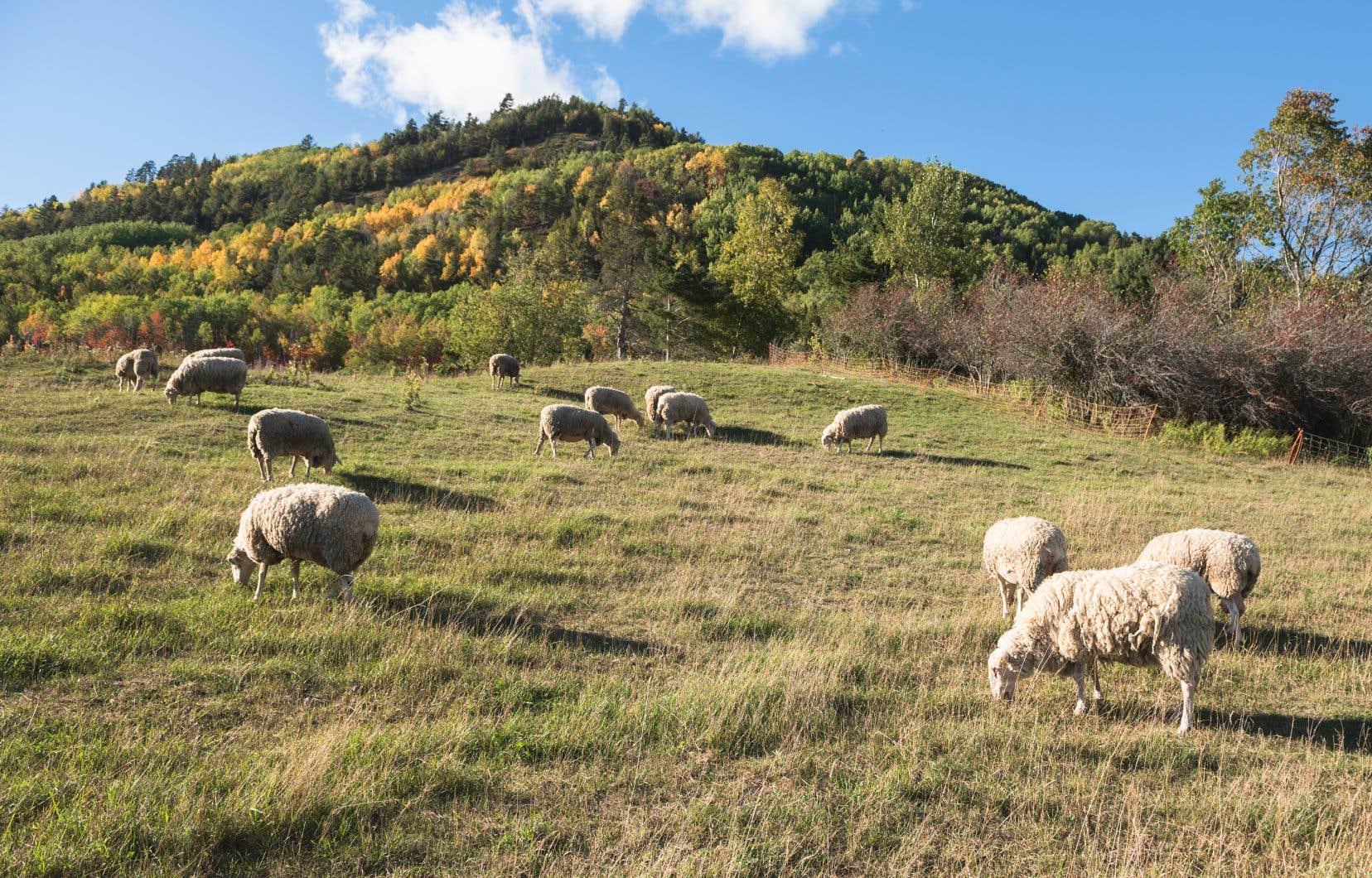 L'appelation Agneau de Charlevoix exige que l'agneau soit né et élevé dans la région de Charlevoix.