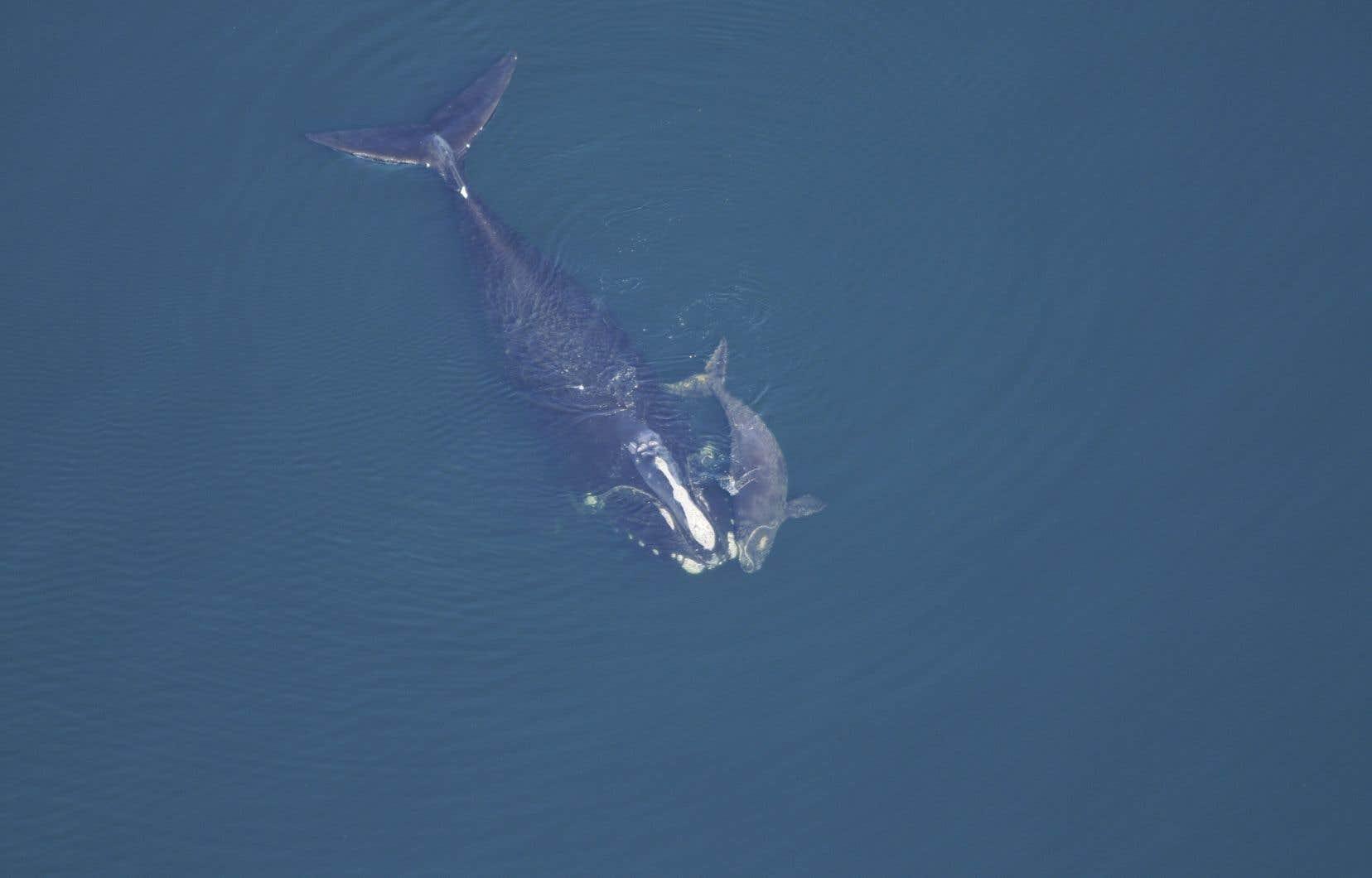 La population de baleines noires a subi un déclin accéléré depuis 2017, notamment après des mortalités records dans le Saint-Laurent.