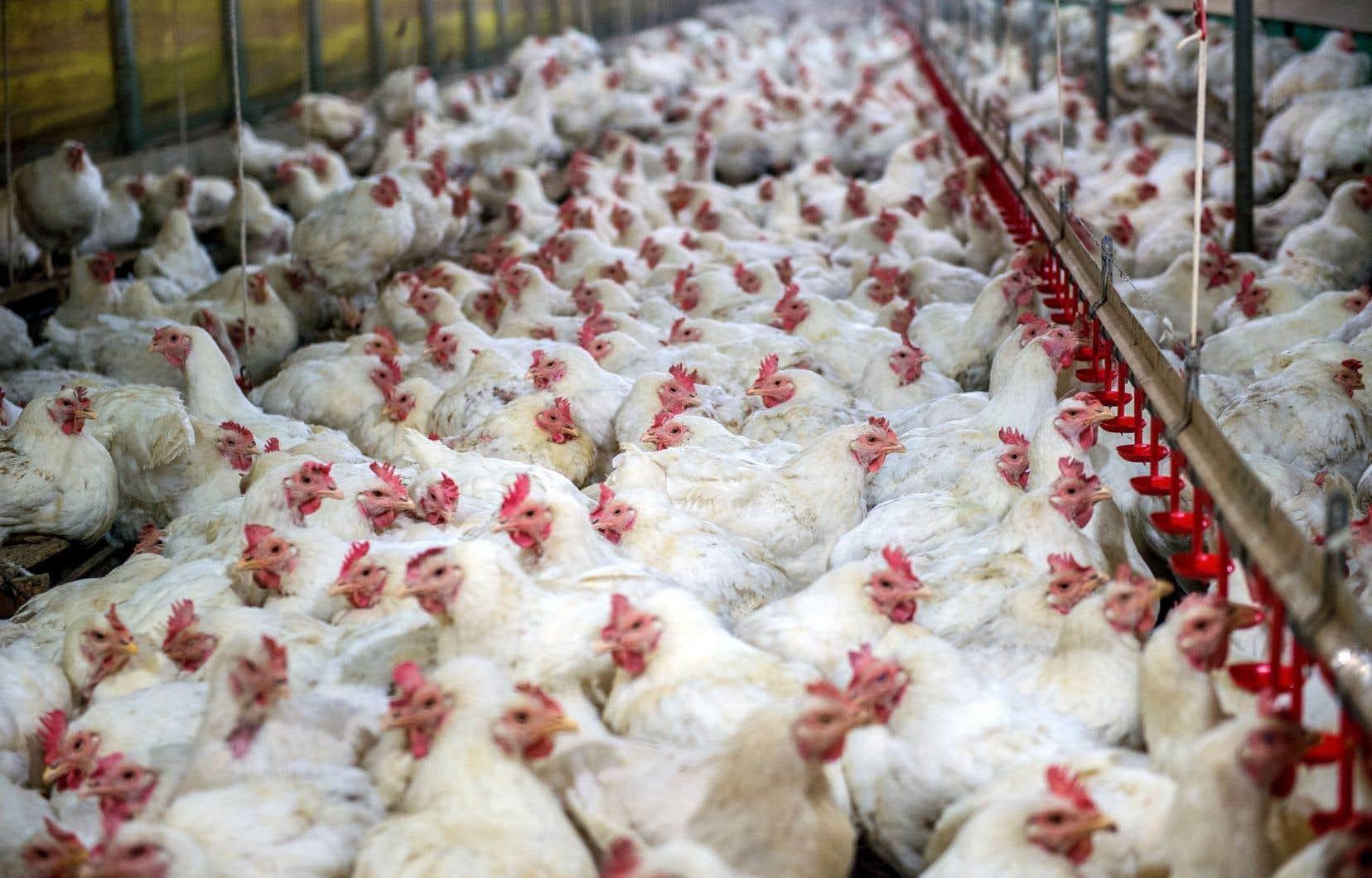 Les producteurs de volaille et d'œufs n'avaient pas encore d'argent du fédéral pour couvrir l'impact des accords de libre-échange avec l'Europe et avec la zone transpacifique.