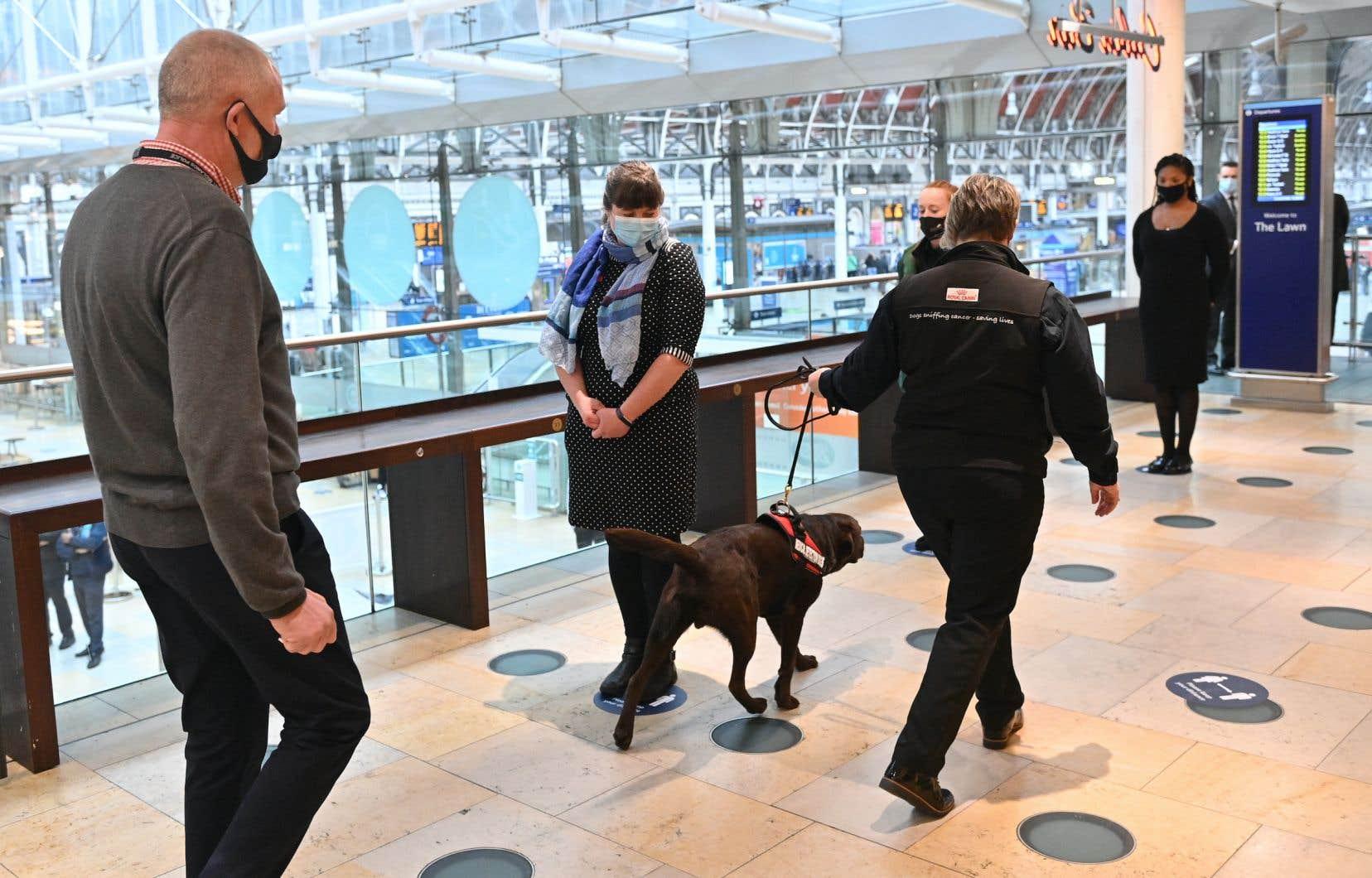 Un chien utilisé pour mener des tests afin de détecter la présence du coronavirus chez des passagers en transit à la station ferroviaire Paddington, à Londres.