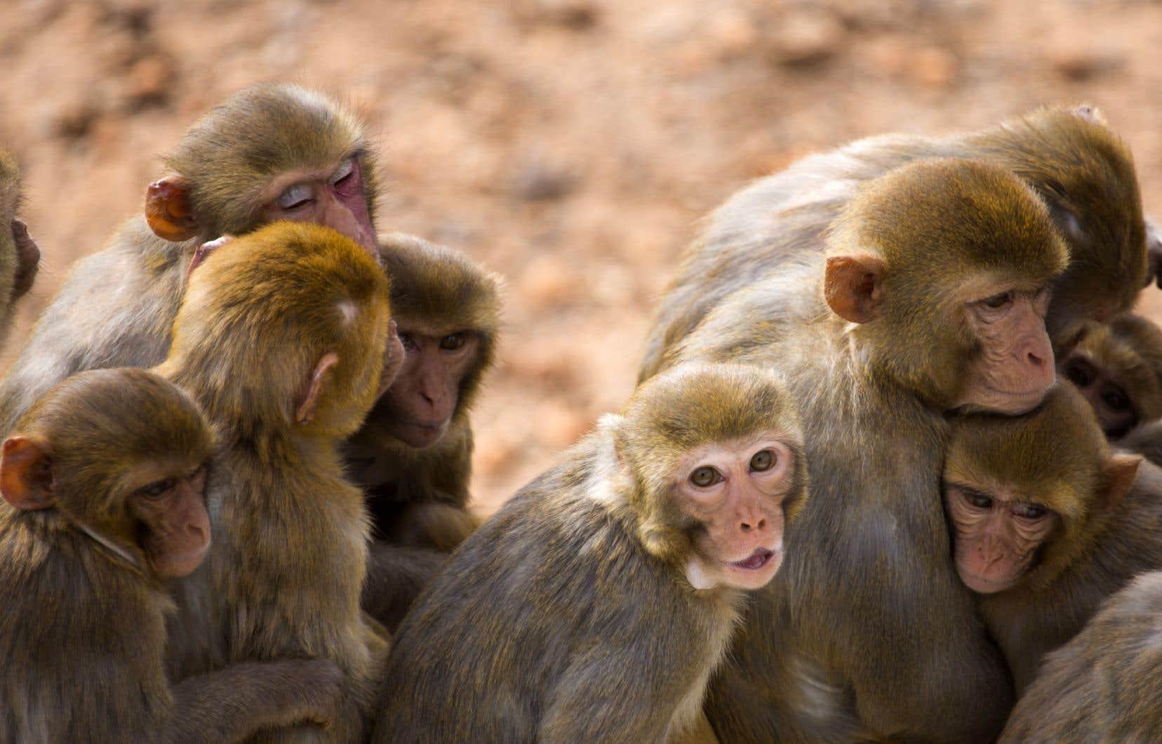 Des macaques rhésus  au Yerkes  National  Primate  Research Center rattaché à l'Université Emory dans la capitale  géorgienne,  aux  États-Unis