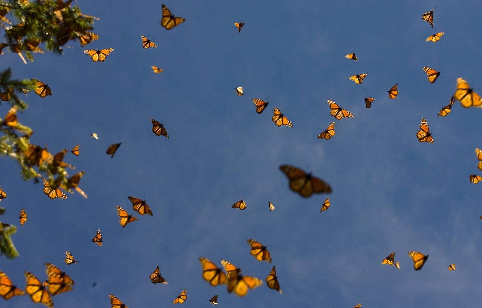 La Maison- Blanche a l'intention de réviser la décision prise en décembre par le gouvernement Trump de ne pas inscrire le papillon monarque sur la liste des espèces menacées, malgré un déclin de 85 % des populations de cet insecte emblématique.