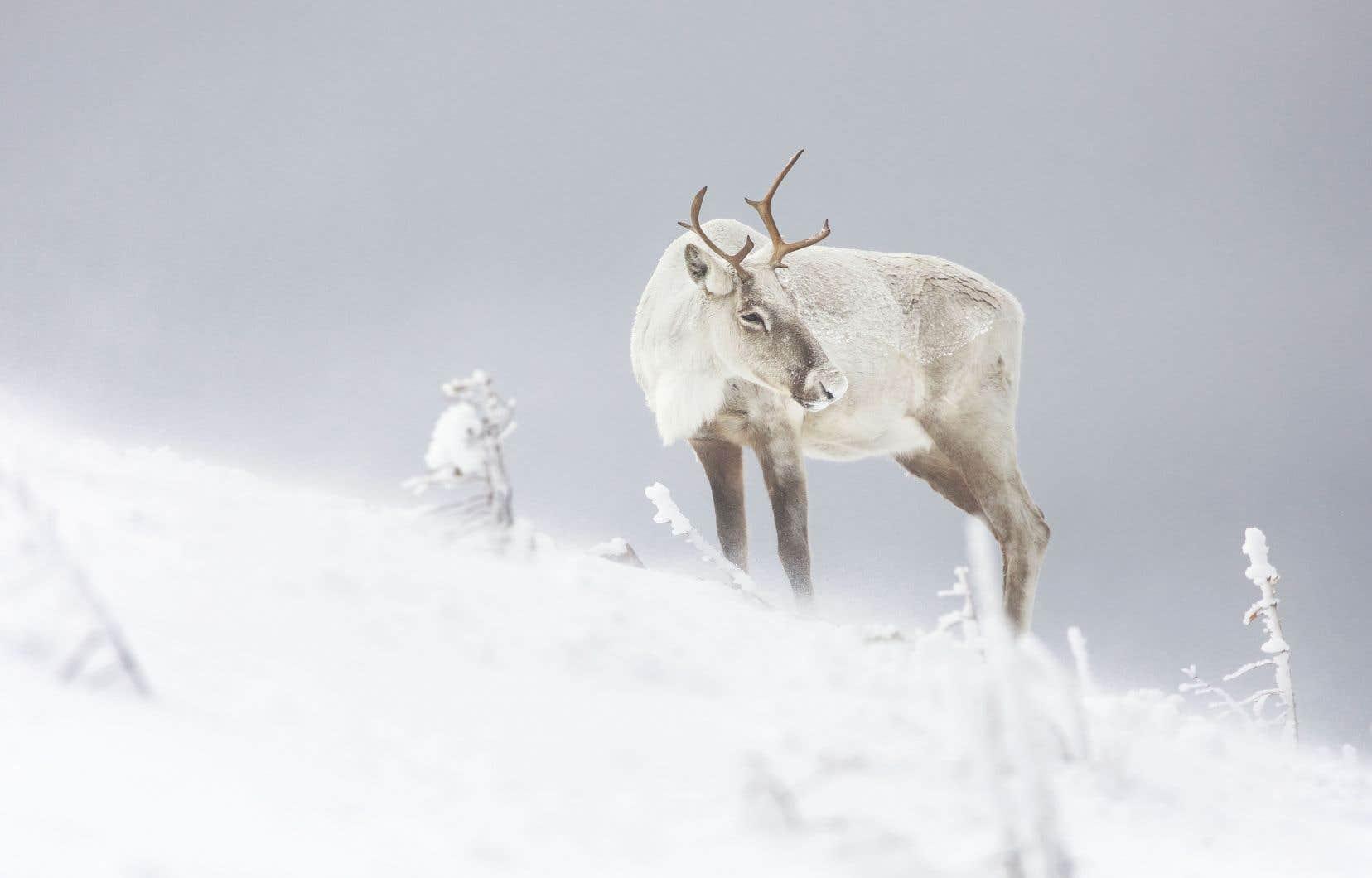 Les plus récents inventaires des caribous forestiers du Québec démontrent un déclin de  l'espèce,  notamment en Gaspésie, où on ne compte  plus qu'une  cinquantaine  de bêtes.