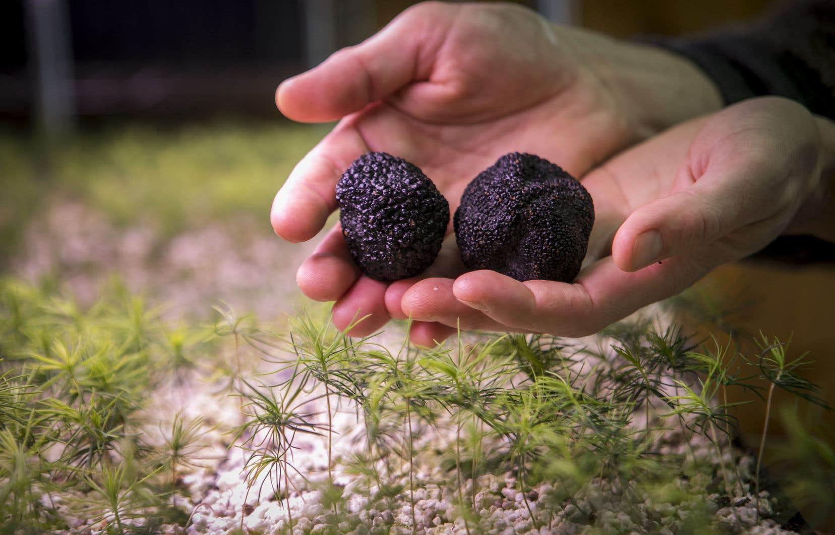 Des truffes des Appalaches, au-dessus de pousses d'épinettes rouges mycorhizées