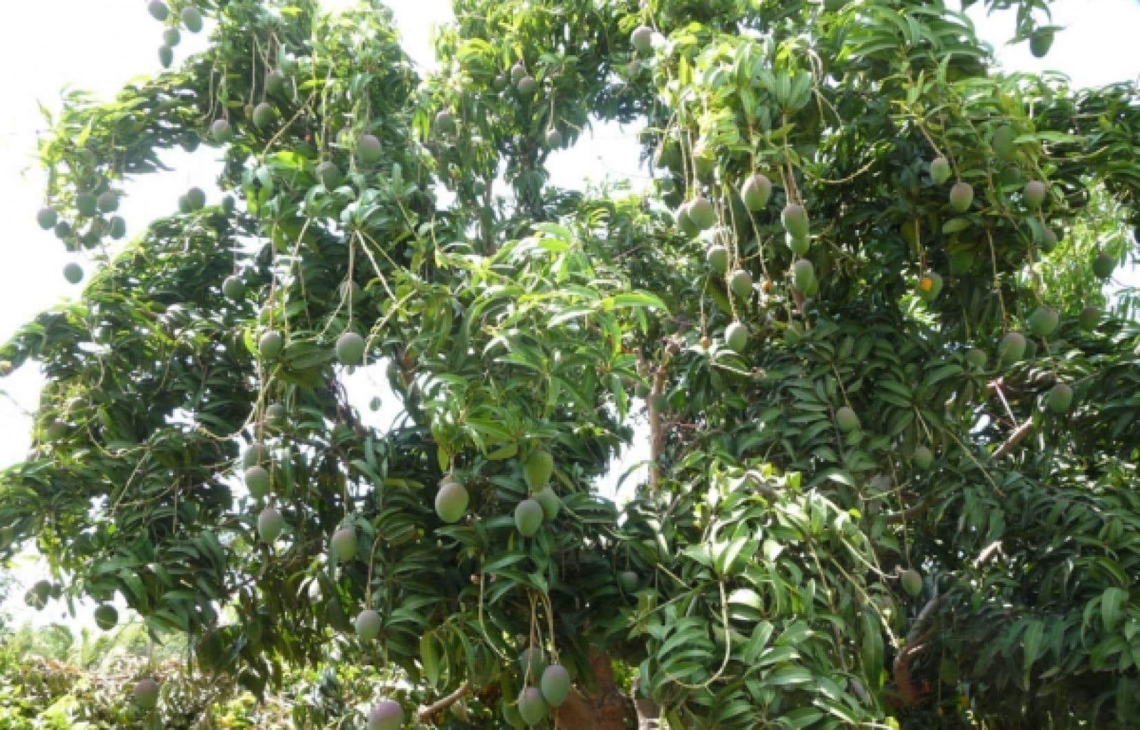 Des manguiers dans une plantation mexicaine choisie par Equicosta <br />