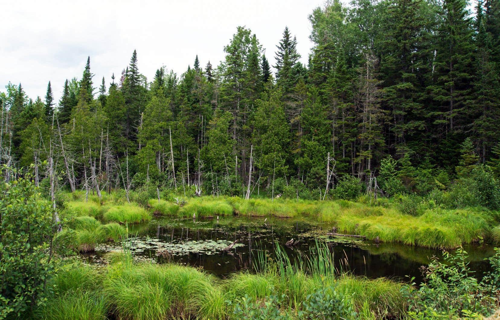 «Une reconnaissance et une meilleure gestion du carbone forestier permettraient à la fois de compenser les émissions de gaz à effet de serre sur notre territoire, et de contribuer à la protection des milieux humides et des vieilles forêts et, par le fait même, des écosystèmes et de la biodiversité qu'ils abritent», démontre l'auteur.