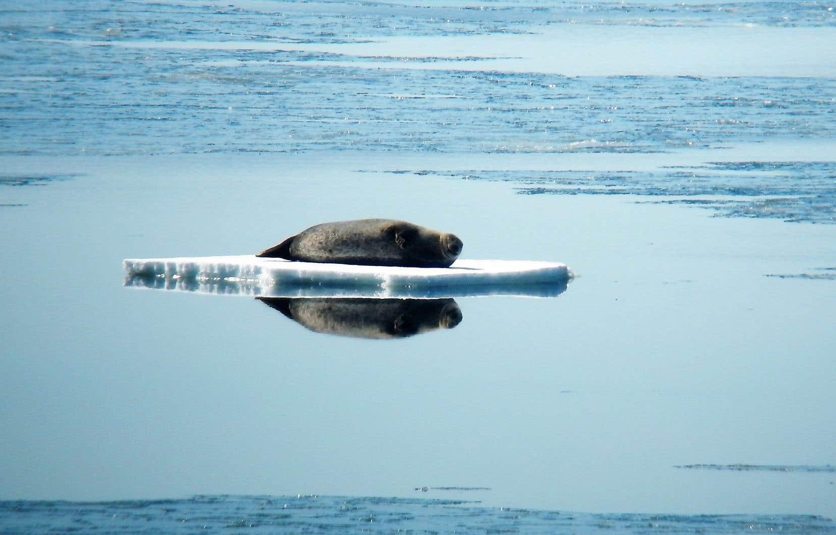 Pourquoi pas une excursion en kayak pour observer les phoques communs juchés sur les blocs de banquise flottants, près de la pointe de Forillon, en Gaspésie?
