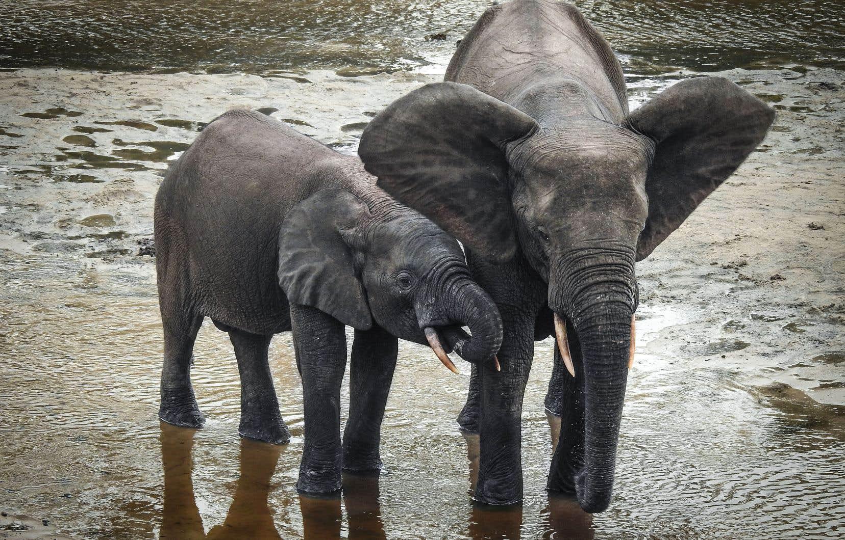 Plus petit que son cousin des savanes et vivant essentiellement en Afrique centrale et en Afrique de l'Ouest, l'éléphant de forêt a vu sa population chuter de 86% en 30 ans.
