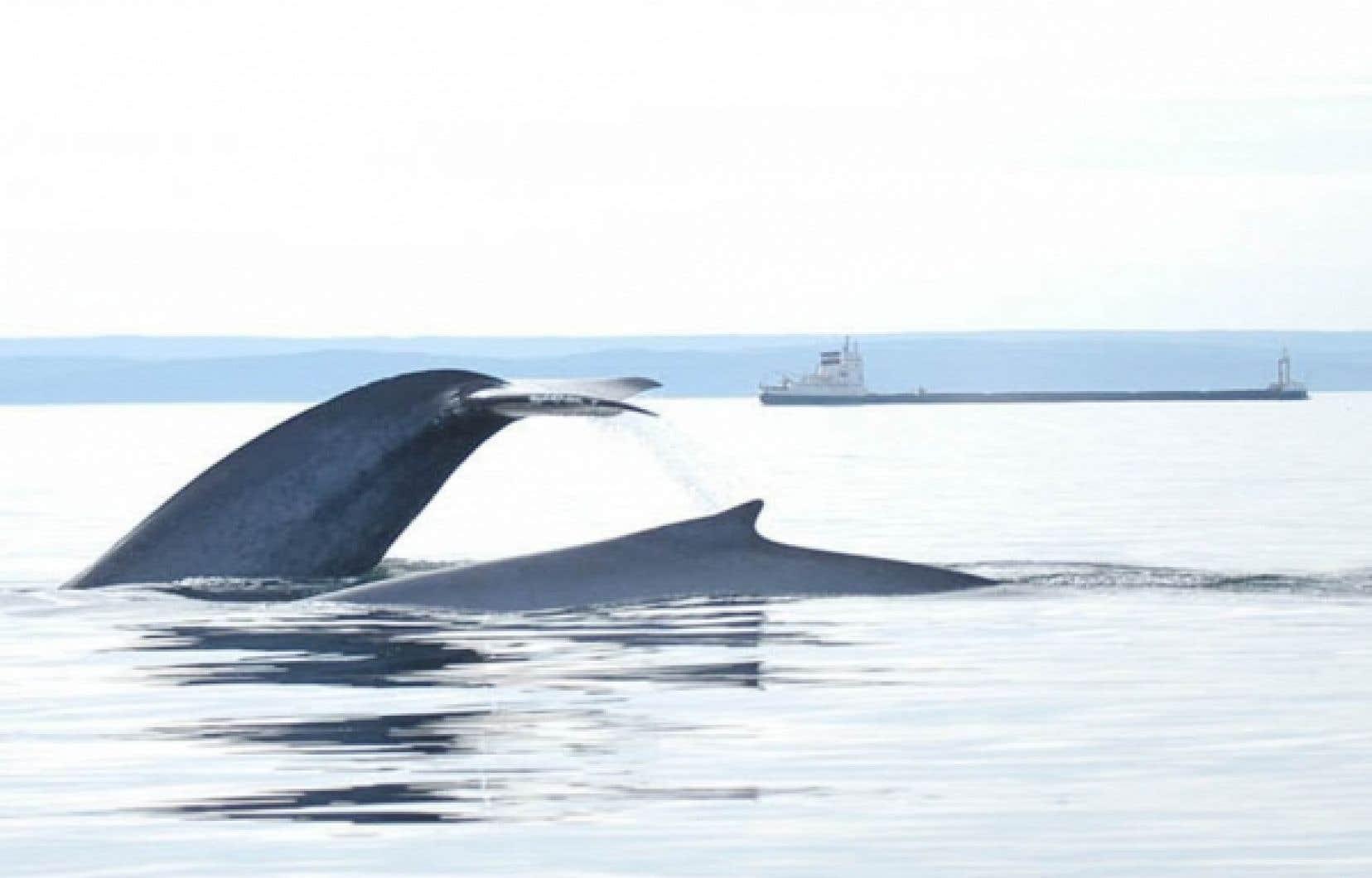 Plusieurs espèces pourraient souffrir de l'exploitation d'hydrocarbures dans le golfe du Saint-Laurent.
