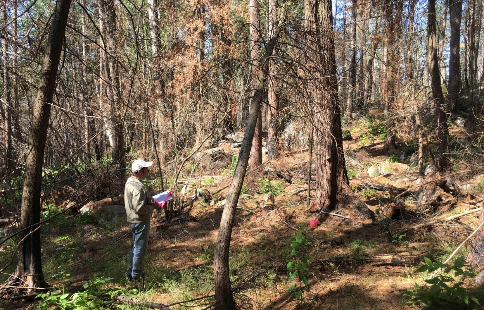 Yves Bergeron et son équipe vont étudier les dynamiques de régénération des forêts de pins blancs et rouges.