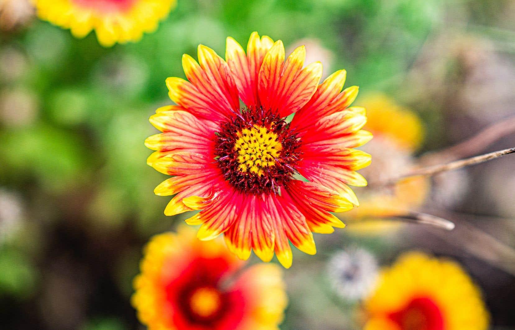 Dans leurs jardins de Stanstead, en Estrie, les propriétaires de la ferme florale Enfants Sauvages cultivent une soixantaine de variétés de fleurs, dont les zinnias.