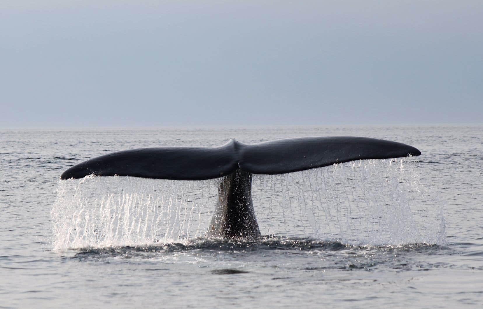 On compte moins de 400 baleines noires de l'Atlantique nord, une espèce qui fréquente de plus en plus le golfe du Saint-Laurent.