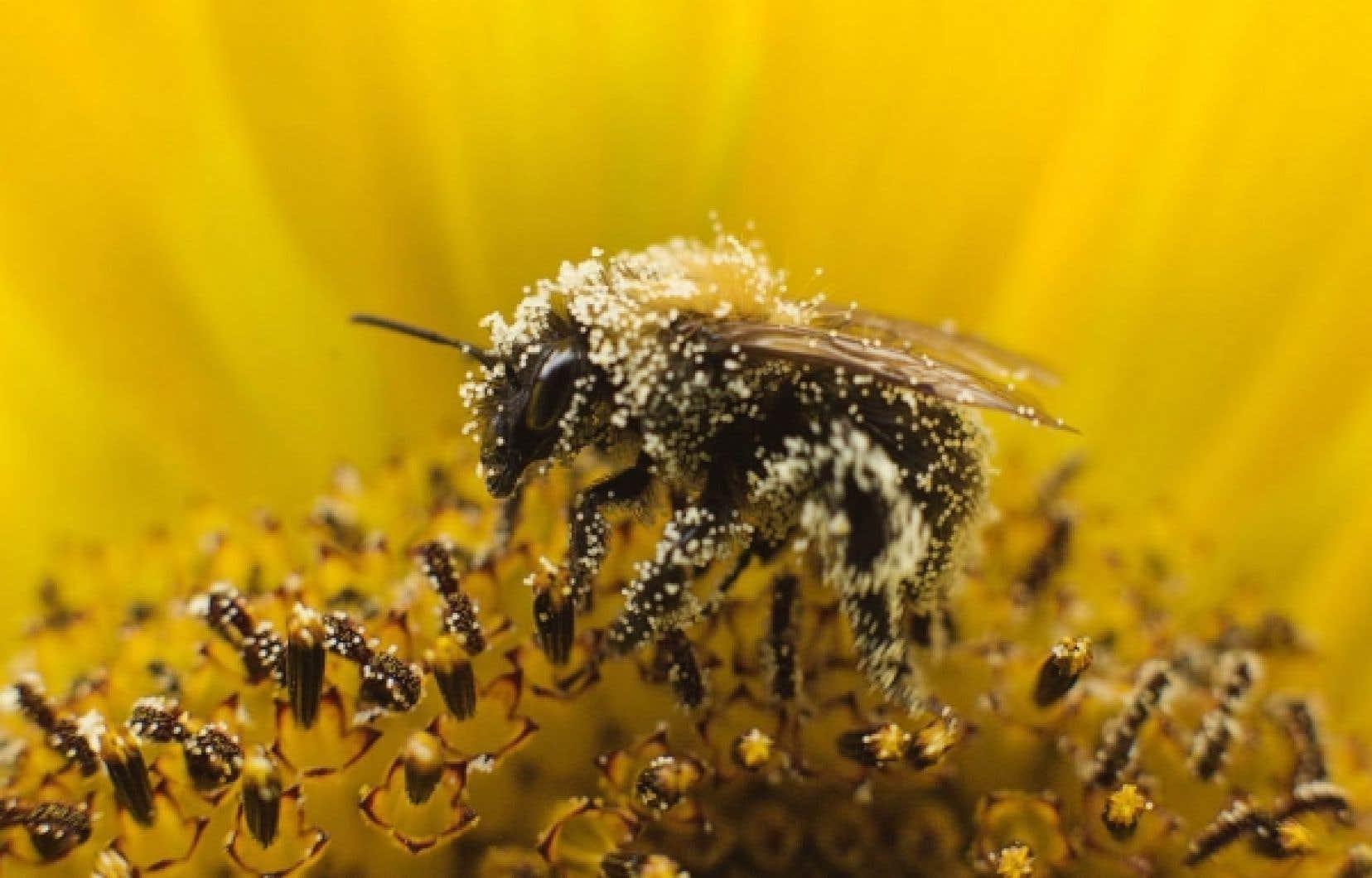 Le taux de mortalit&eacute; des polulations d&rsquo;abeilles oscille aujourd&rsquo;hui entre 25 et 30 %. <br />