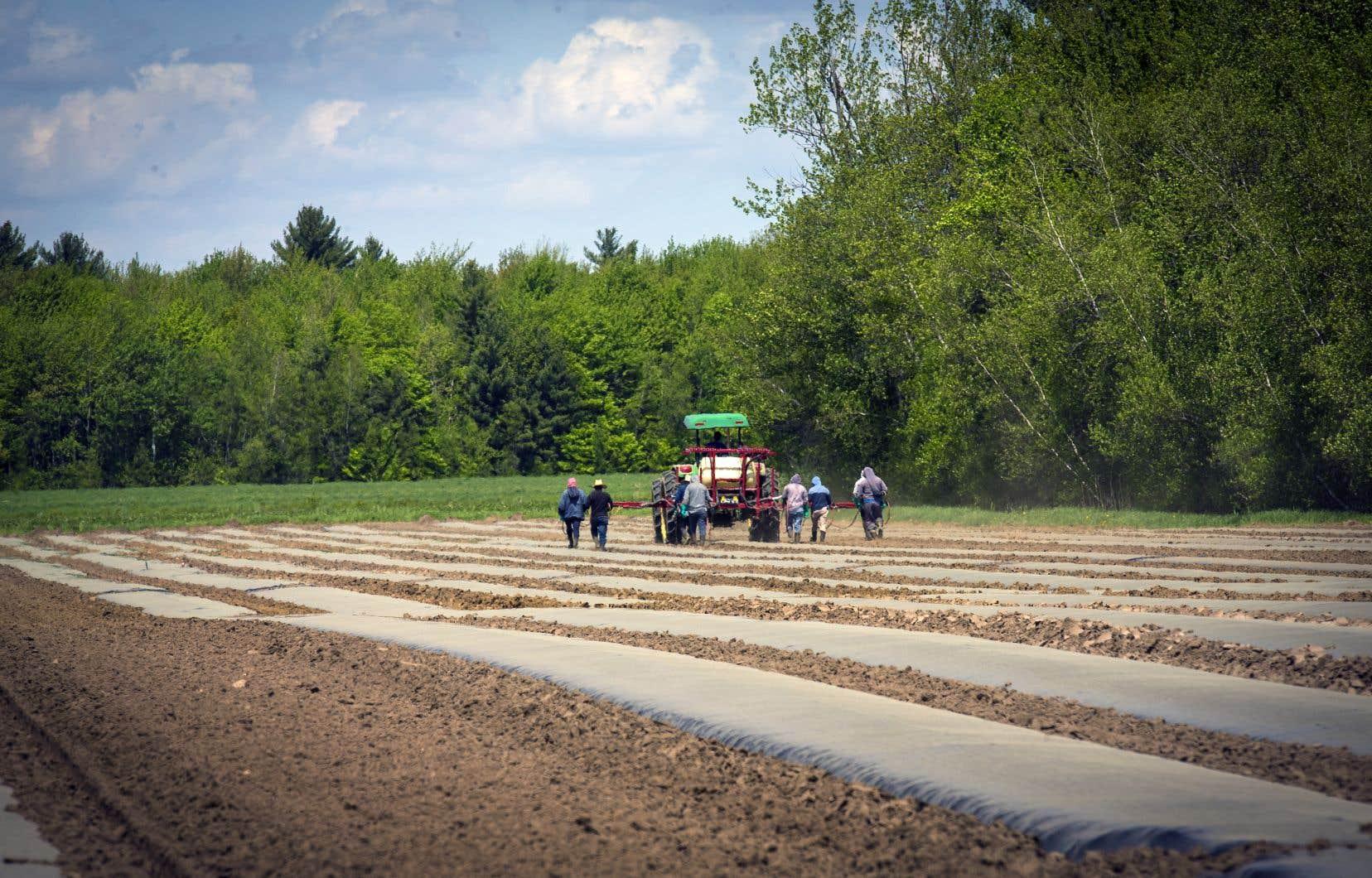 Au total, plus de 20000 travailleurs étrangers temporaires passeront par le Québec en 2021, incluant une majorité d'environ 16000 en agriculture, un nombre qui a doublé depuis 2015.