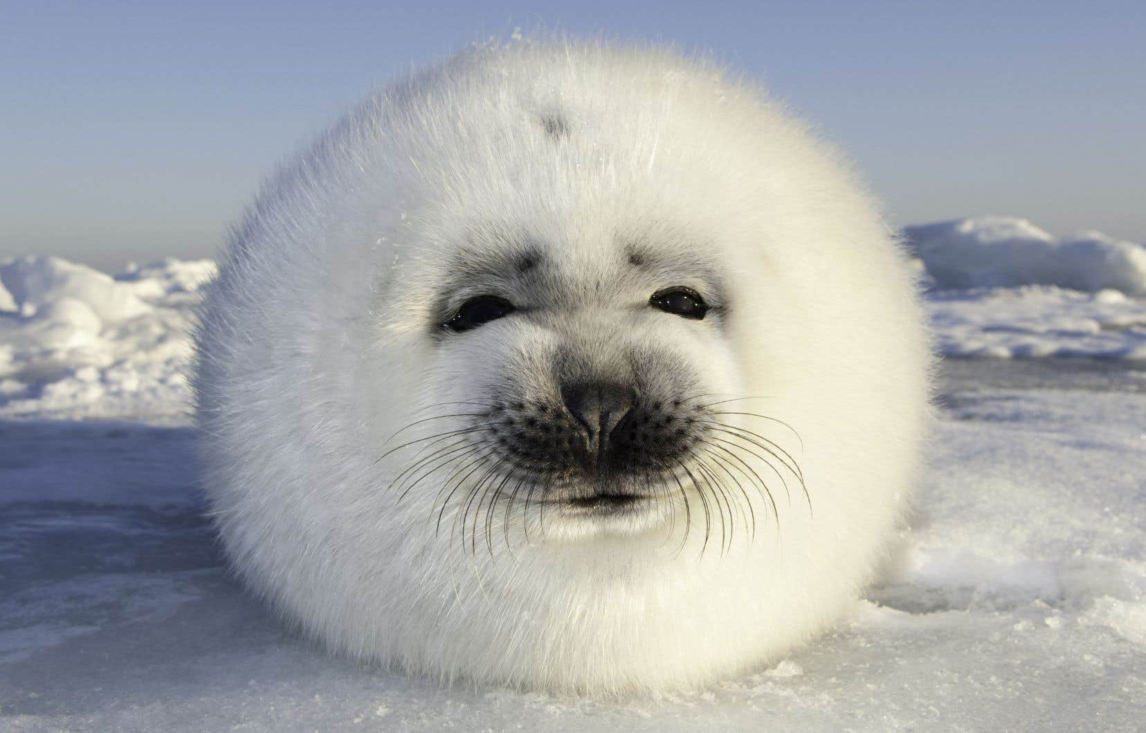 L'exposition immersive est une occasion unique d'observer l'ours polaire ou d'entendre la plainte aquatique des phoques annelés et des phoques barbus.