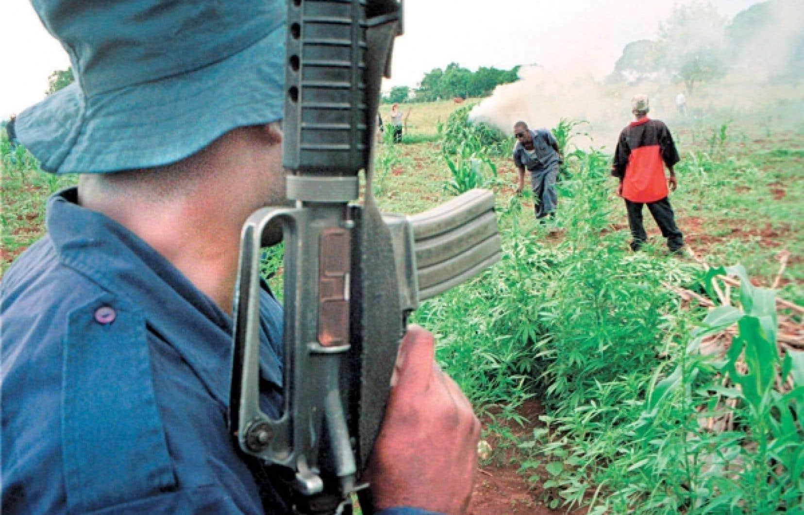 L'escouade antinarcotique détruit une plantation de marijuana en Jamaïque.<br />