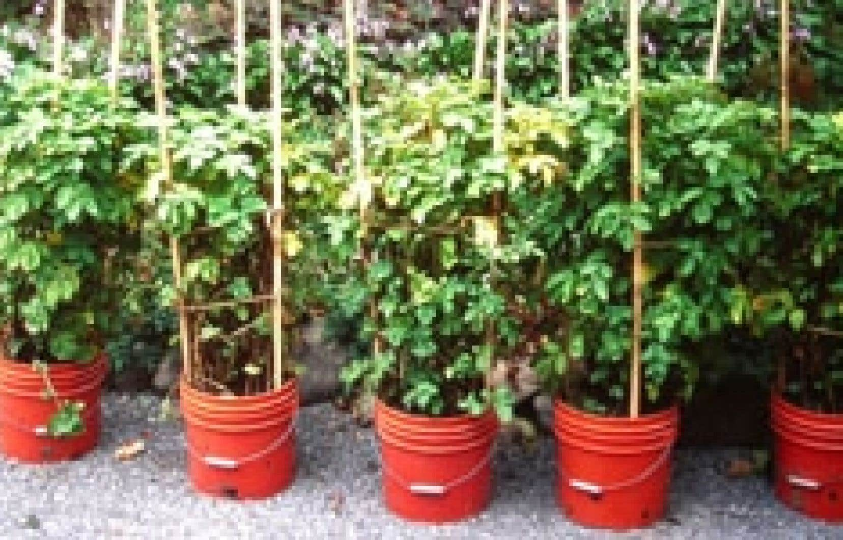 Début de la croissance avec des pommes de terre entières