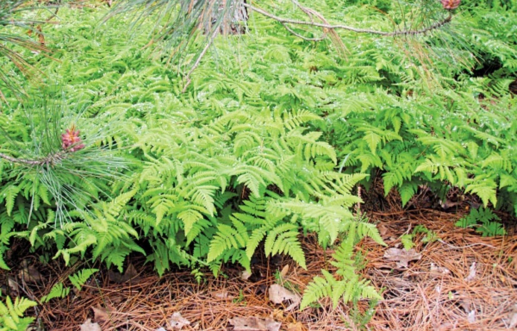 La Gymnocarpium dryopteris tol&egrave;re les sols secs, rocheux et sablonneux et cro&icirc;t bien sous les conif&egrave;res. <br />