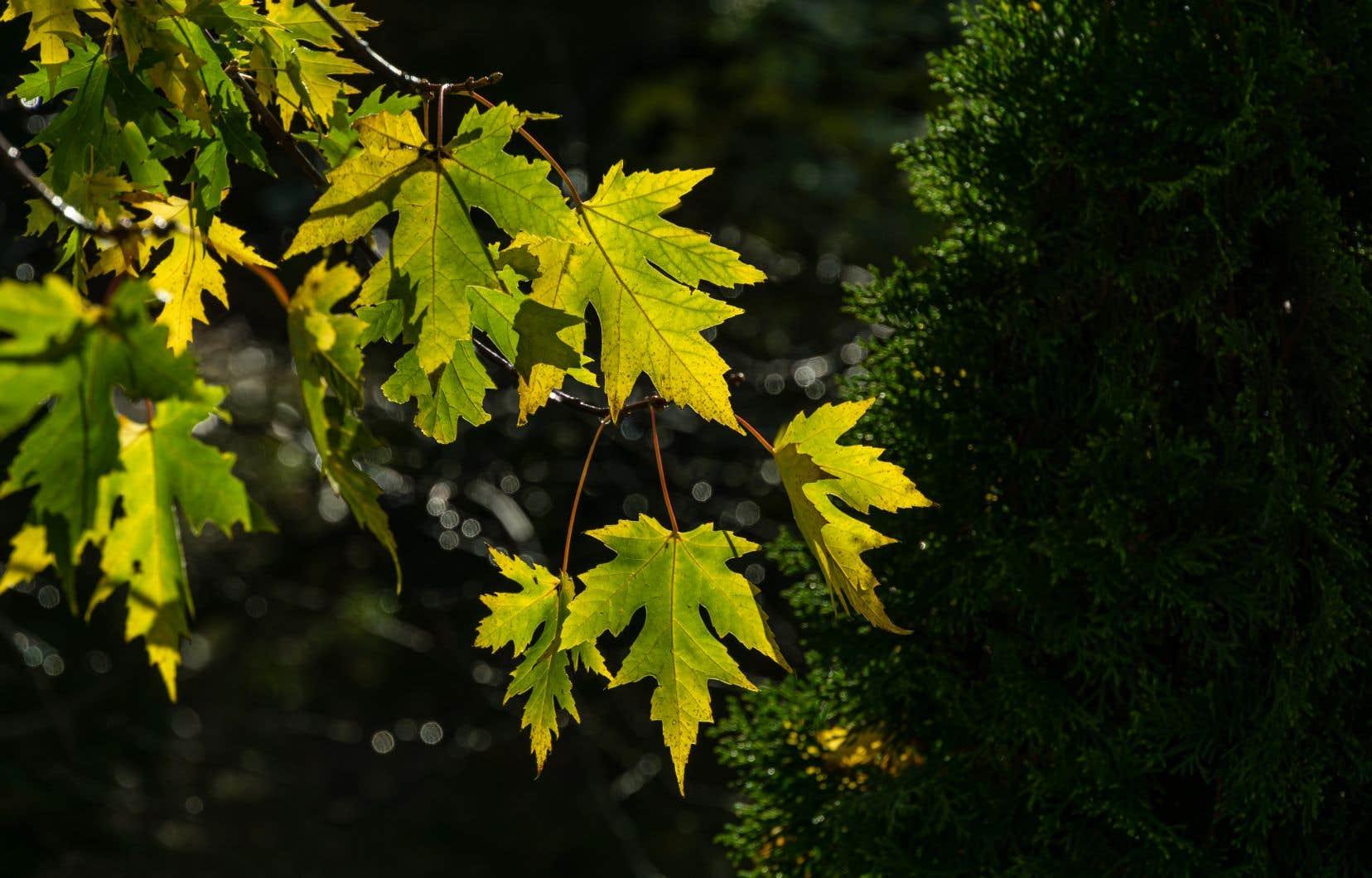 L'érable de Norvège a des racines à la fois superficielles et très denses qui assèchent et appauvrissent le sol, rendant le jardinage difficile.