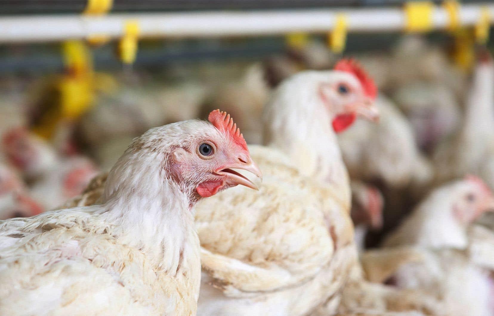« Les termes de la nouvelle convention collective auront pour effet de redéfinir le marché de la volaille au Québec», a fait valoirla direction du transformateur de poulet.
