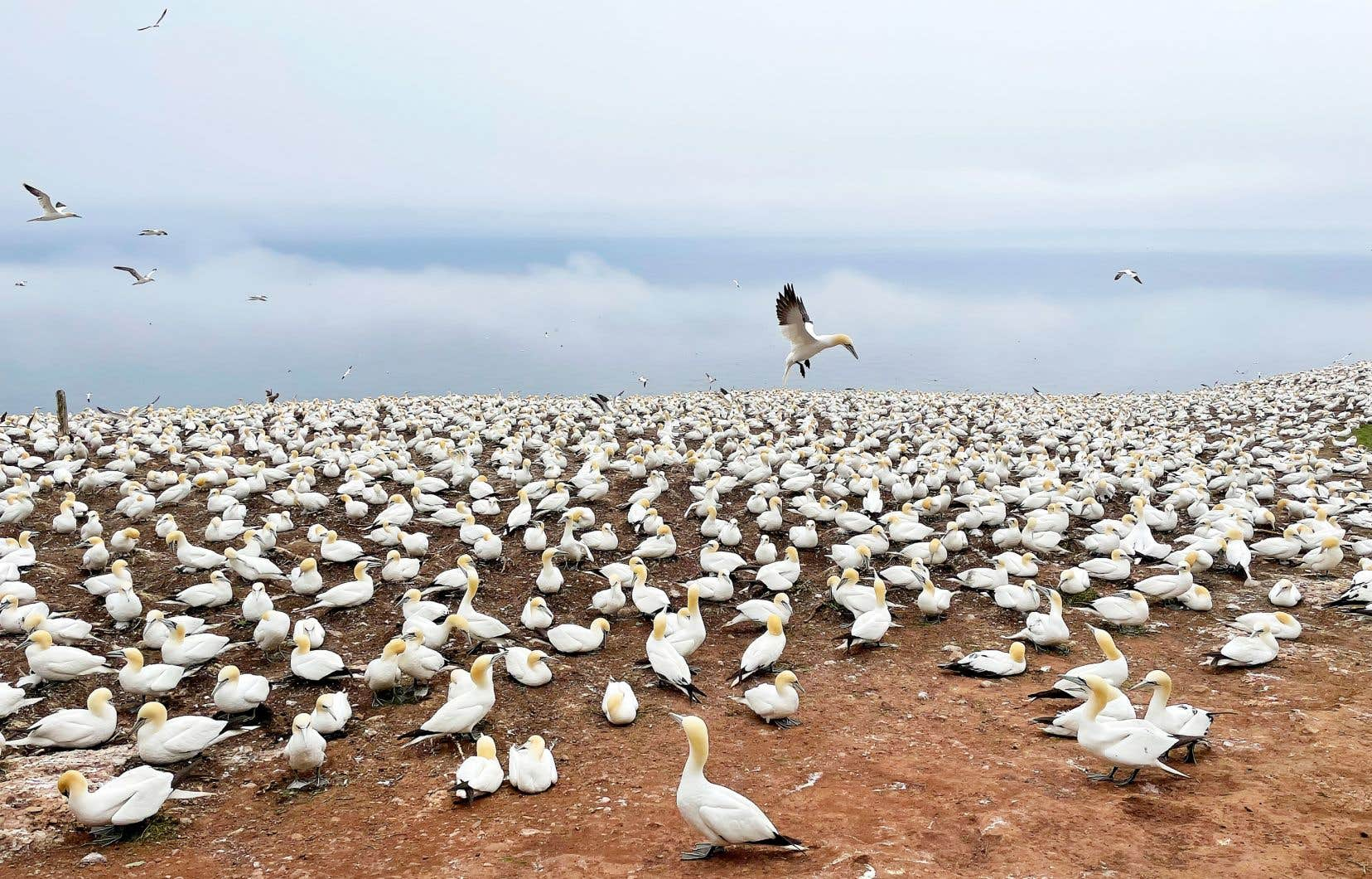 L'incontournable parc national de l'Île-Bonaventure-et-du-Rocher-Percé où l'on peut observer les oiseaux, entre autres, les Fous de Bassan qui nichent dans les falaises.