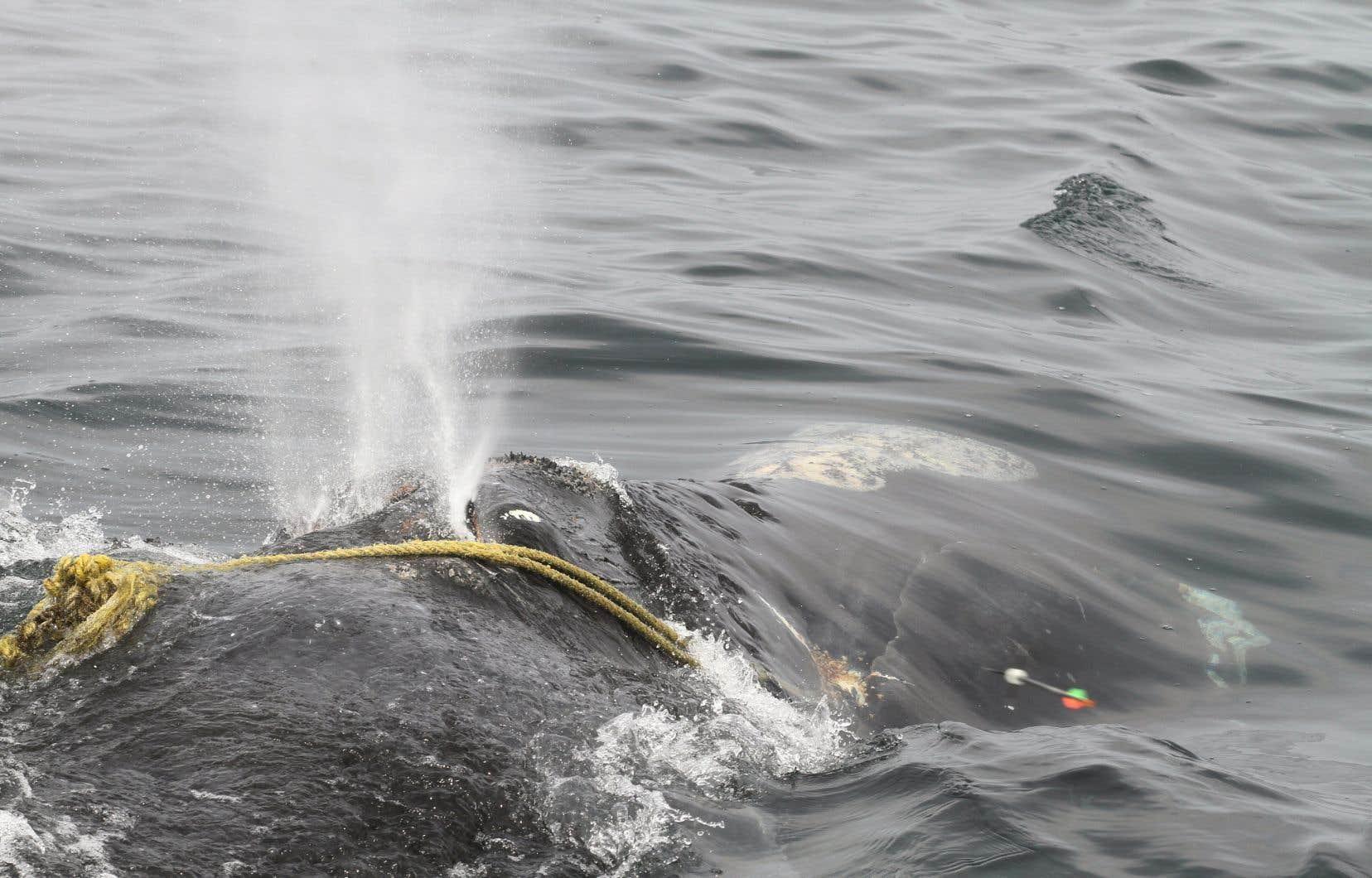 Plus de 80% des baleines noires adultes portent des cicatrices de cordages de pêche. La baleine noire femelle nommée «Kleenex» (sur la photo) a disparu après avoir été vue sévèrement empêtrée.
