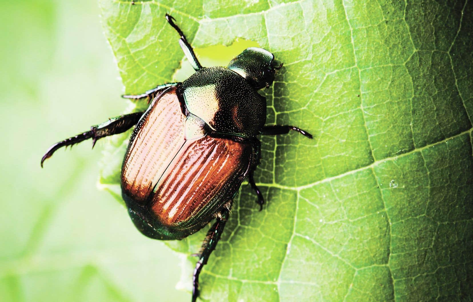 Le scarabée japonais s'est installé au Québec il y a un peu plus de quinze ans.