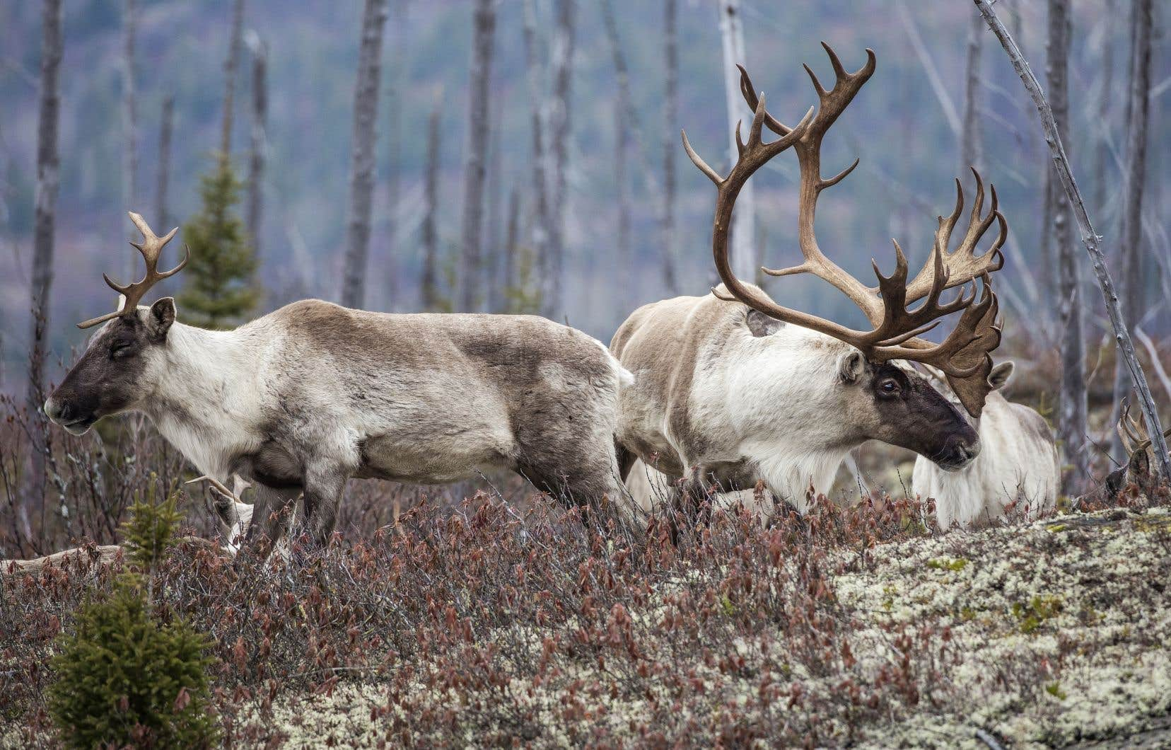 Le gouvernement a décidé d'envoyer tous les caribous du parc national des Grands-Jardins, dans Charlevoix, en captivité.