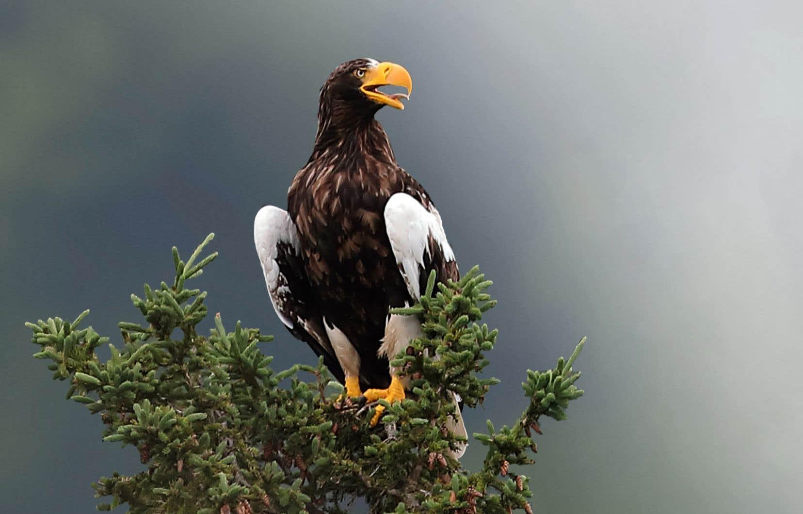 Le pygargue empereur, aussi connu sous le nom d'aigle de Steller.
