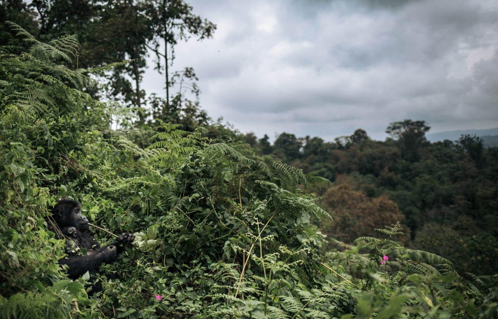 La République Démocratique du Congo avait officialisé son projet d'exploiter du pétrole dans les parcs des Virunga au nord-est du pays (photo), et de la Salonga, mais le gouvernement n'y a toutefois pas officiellement renoncé.