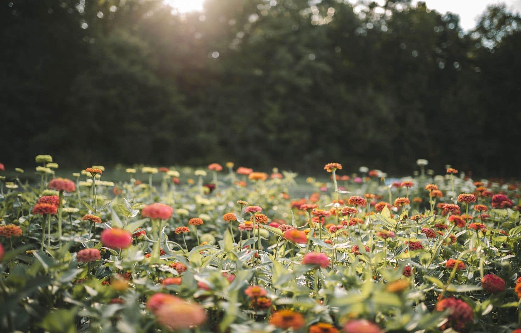 En plus de ses 300 variétés de dahlias, la ferme Au Beau Pré cultive une soixantaine de variétés d'annuelles destinées à l'autocueillette.