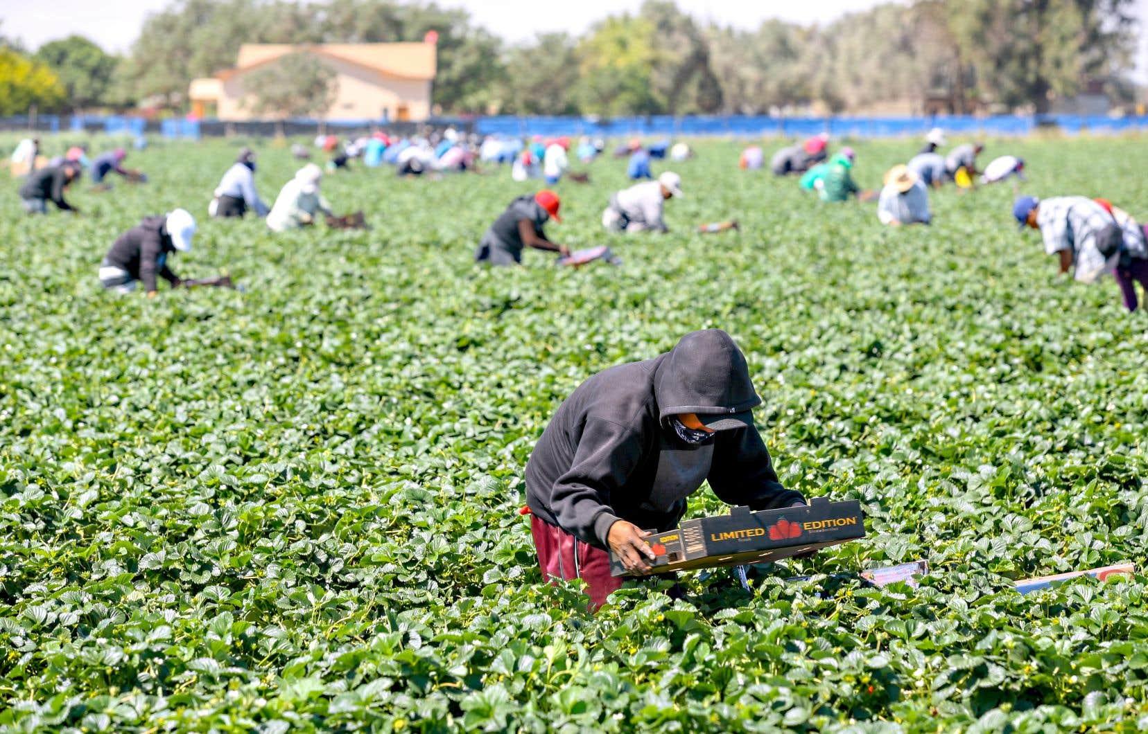 «Cette année, de plus en plus de travailleurs agricoles se font approcher par des recruteurs dans les rares lieux publics qu'ils fréquentent, comme les épiceries, les lieux de restauration rapide ou les parcs», écrivent les auteurs.