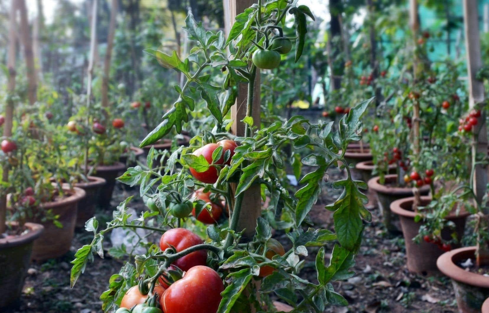 Les plantes qu'on a entretenues avec soin amorcent leur déclin, particulièrement celles qui ont besoin de chaleur, comme les tomates.